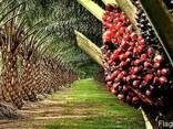"""Пальмовое масло """"Малазия"""" (Palm oil) - photo 3"""