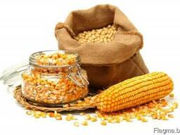 Yellow corn from Ukraine
