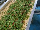 Acute dried peppers KAYAN Indian wholesale!Export from Turke - photo 3