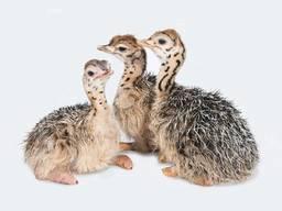 Buy ostrich chicks | whatsapp: