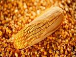 Corn for animal feed, protein 8 % - фото 1