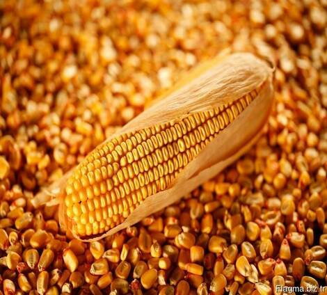 Corn for animal feed, protein 8 %