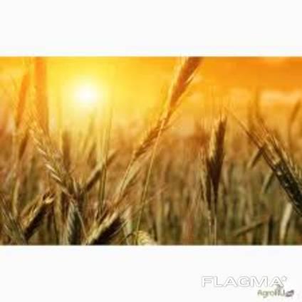 Поставка пшеницы кукурузы ячменя