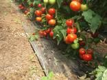 Продаём помидоры сорт высокого из Турции - фото 2