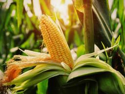 Пшеница , кукуруза , ячмень мука масло