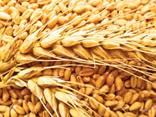 Пшеница/wheat - photo 1