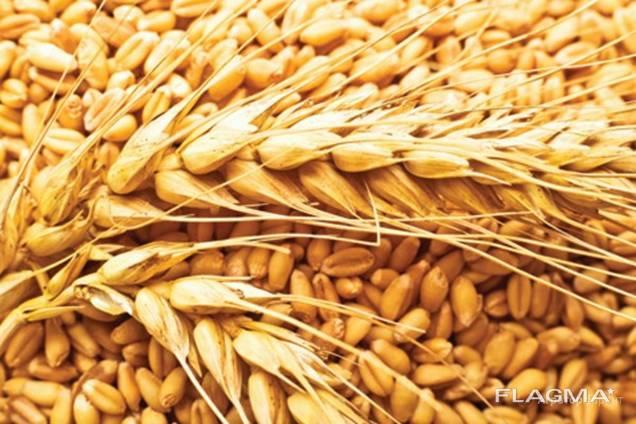 Пшеница/wheat