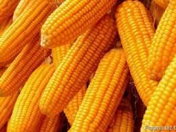 Пшеница , ячмень . кукуруза