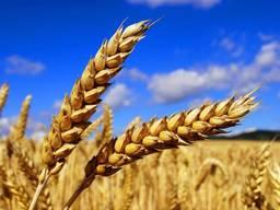 Rusya'dan buğday ihracatı / Wheat exports from Russia