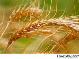 Soft Milling Wheat 11, 5% and 12, 5% pro, Feed Wheat