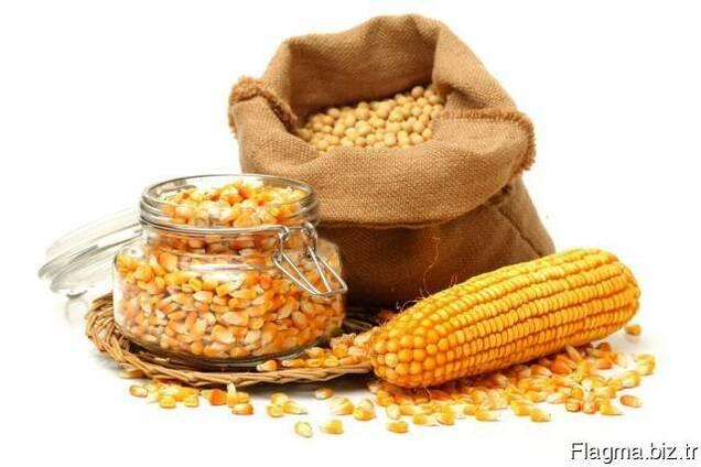 Yellow corn from Ukraine