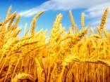 Зерно экспорт мука масло пшеница ячмень кукуруза фуражное - photo 1