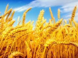 Зерно , мука, масло, пшеница, ячмень, кукуруза, фуражное